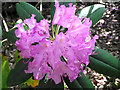 SJ9059 : Rhododendron flowers by Jonathan Kington
