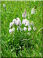 ST7435 : Common Spotted Orchid (Dactylorhiza fuchsii) by Miss Steel
