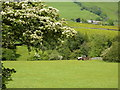 SJ9978 : Hawthorn in blossom, and tractor by Peter Barr