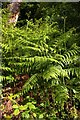 SP5605 : Ferns in Shotover Country Park by Steve Daniels
