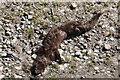 SK6689 : Dead mink : Week 23