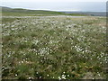 SD8768 : Cotton Grass on Turf Hill by Chris Heaton