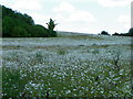 SU1341 : Field of Ox Eye Daisies, West Amesbury : Week 24