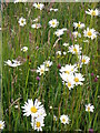 SU1341 : Ox Eye Daisy, West Amesbury by Miss Steel