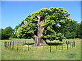 TQ4771 : Veteran tree in Foots Cray Meadows by Marathon