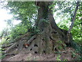 TQ0419 : Exposed root system on Oak at Middle Barn Farm by Dave Spicer