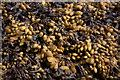 HU4642 : Bladderwrack (Fucus vesiculosus), Holmsgarth, Lerwick by Mike Pennington