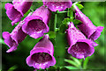 J3268 : Foxgloves, Minnowburn, Belfast (3) by Albert Bridge