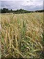SO7992 : Cereal crops near Claverley, Shropshire : Week 25