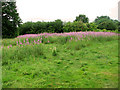 TG1903 : Rosebay willowherb on Swardeston Common by Evelyn Simak