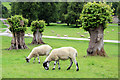 SK2570 : Sheep Grazing, Chatsworth, Derbyshire by Christine Matthews