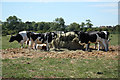 SK7564 : Cattle at Ossington by Richard Croft