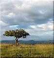 SD4992 : Stunted hawthorn tree on Cunswick Scar : Week 26