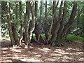 TQ4198 : Tree trunks by Roger Jones