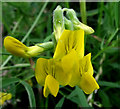SJ8956 : Meadow Vetchling flower by Jonathan Kington