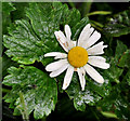 D3902 : Oxeye daisy, Larne by Albert Bridge
