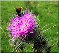 SJ8959 : Bee on a thistle by Jonathan Kington
