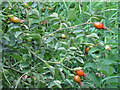 TQ3986 : Rose Hips ripening by Roger Jones