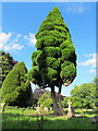 TQ4459 : Lawson Cypress in Cudham churchyard by Stephen Craven