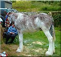 NX4254 : Strawberry Roan Clydesdale by Andy Farrington