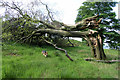 SK0295 : Wind-blown beech tree by David Lally