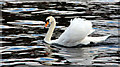 SU8586 : A swan a-swimming, Marlow, Buckinghamshire by Christine Matthews
