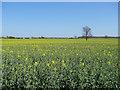 TL6155 : Oil seed rape field by Hugh Venables