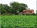 SE5113 : Cabbages behind Barnsdale Cottages by Christine Johnstone