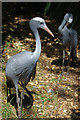 SP0683 : Blue Crane (Grus paradisea) at Birmingham Nature Centre by Phil Champion