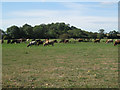 SP2181 : Cattle grazing near Patrick Bridge  by Robin Stott