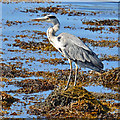 NG2547 : Heron on Loch Dunvegan by John Allan