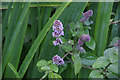 HP6102 : Water Mint (Mentha aquatica), Sandwick by Mike Pennington