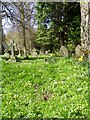 NZ2288 : Primroses in the churchyard, Longhirst by Miss Steel
