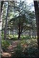 TL1140 : Mighty Tree Rowney Warren Woods by Martin