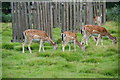 SJ7487 : Fallow deer in Dunham Park by Bill Boaden