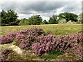 TF6719 : Flowering heather in Bawsey Country Park by Evelyn Simak