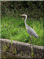 SJ7360 : Grey Heron near Elworth, Cheshire by Roger  Kidd