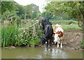 SJ8935 : Canalside grazing above Meaford Locks, Staffordshire by Roger  Kidd