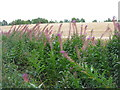 NT3758 : Rosebay Willowherb and barley by M J Richardson