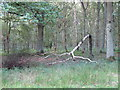 TL4603 : Fallen Birch in Epping Plain by Roger Jones