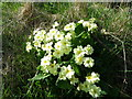 NT9167 : Primroses (Primula vulgaris), St Abbs Churchyard by Miss Steel