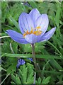 SE7485 : Autumn crocus, Sinnington : Week 39