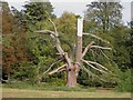 SK6274 : Injured tree in Clumber Park by Steve  Fareham