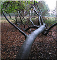 SJ7579 : Fallen tree in Tatton Park (2) by Dave Croker