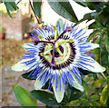ST9429 : Blue Passionflower (Passiflora caerulea) by Jonathan Kington