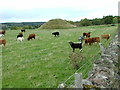 NH7846 : Cattle and a Motte by Dave Fergusson