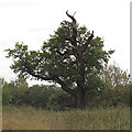 TQ5781 : Oak tree with striking profile by Roger Jones