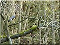 SK2063 : Heron perched in tree by Peter Barr