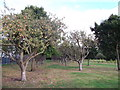 TQ3766 : Apple Trees, of Monk Orchards, Bethlem Royal Hospital by David Anstiss