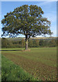 SE5876 : Oak in arable field by Pauline Eccles